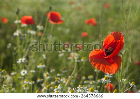 Summer meadow with Common poppy flowers and chamomile - stock photo