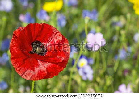 summer meadow with red poppy - stock photo