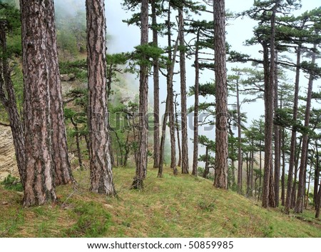 Summer misty forest of pine trees on hill (Aj-Petri mountain, Crimea, Ukraine) - stock photo