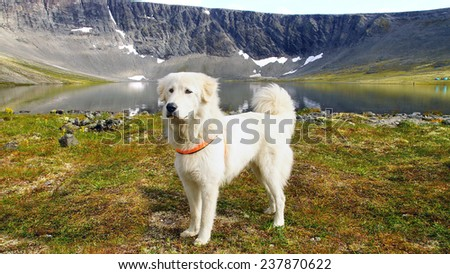 Summer mountain landscape with Pyrenean Mountain Dog. - stock photo