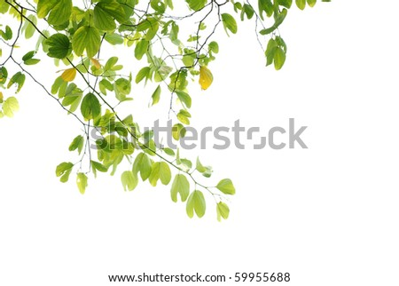 summer nature asian cherry blossom leaf isolated on white background - stock photo