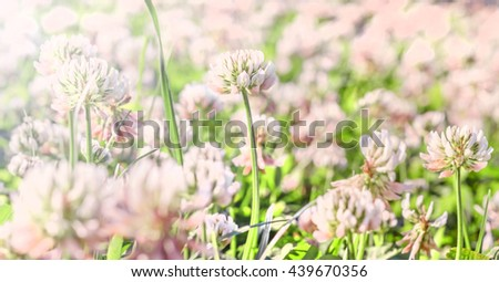 Summer nice pink clover in green field - stock photo