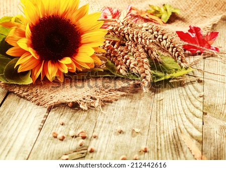 Summer or fall background with a vivid yellow fresh sunflower and freshly harvested ripe ears of wheat on a square of hessian fabric on rustic wooden boards with copyspace - stock photo