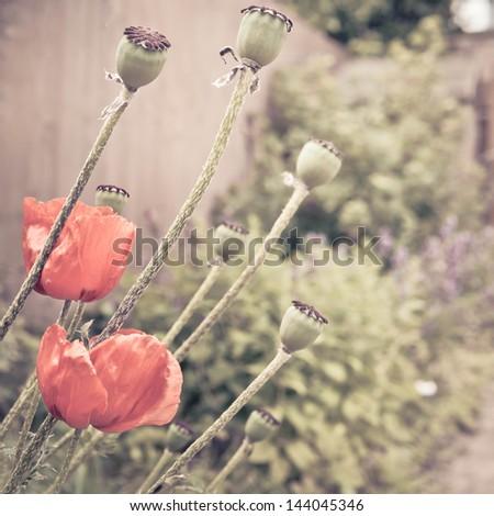 Summer poppies in a garden in vintage tones - stock photo
