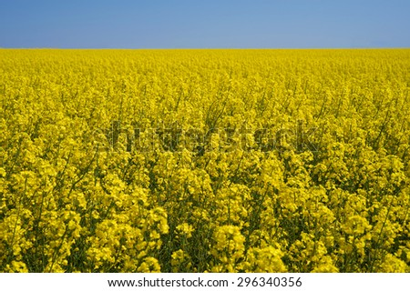 Summer rural landscape with a field of flowering canola. Sunny day - stock photo