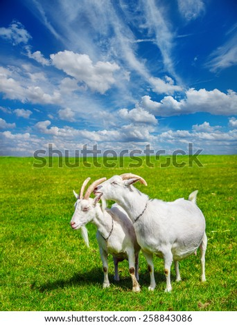 Summer rural scene: two white goats in a meadow - stock photo