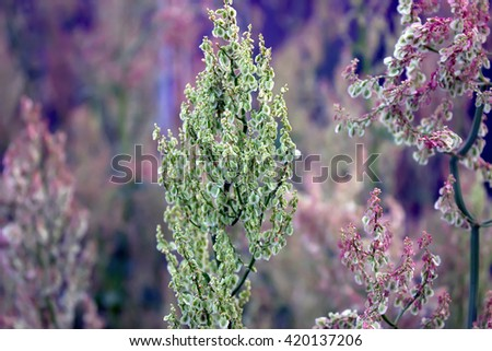 Summer sorrel to flower landscape. Plants in the sunlight of the setting sun on a background of sorrel  grass and leaves. - stock photo