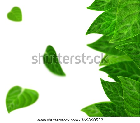 Summer spring leaf background. Beautiful sharp and blurred plum leaves on white. Nature ecological plum leaves concept. Natural and realistic leaf theme. Fresh foliage different green tones on white. - stock photo