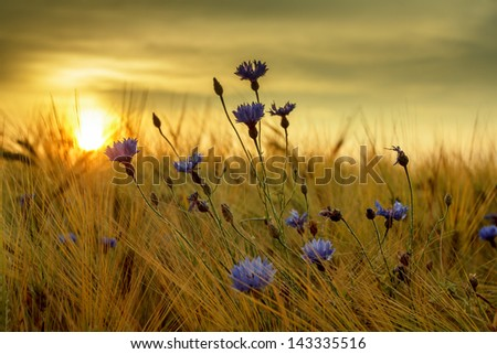 summer sunset over grass field with shallow focus - stock photo
