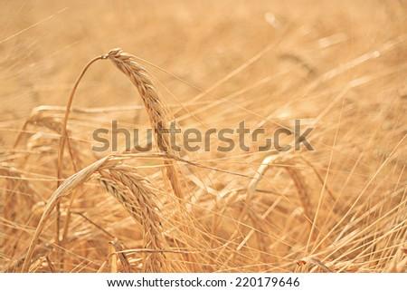 summer sunset texture barley grain - stock photo