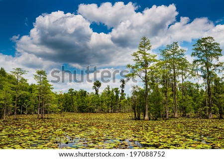 Summer swamp scene with cypress trees and blooming lilly pads - stock photo