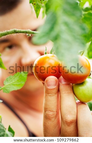 Summer vegetable garden concept with gardener harvesting ripe tomatoes. - stock photo