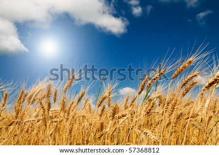 Summer view of ripe wheat. - stock photo