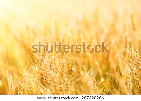 Summer wheat field on a sunny day.
