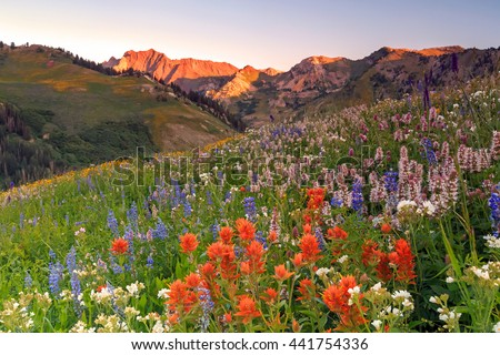 Summer wildflowers in the Wasatch Mountains, Utah, USA. - stock photo