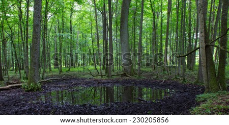 Summertime alder bog forest with small pond under shady canopy of stand - stock photo