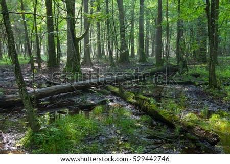 Summertime midday in wet deciduous stand with broken tree lying and standing water, Bialowieza forest, Poland, Europe