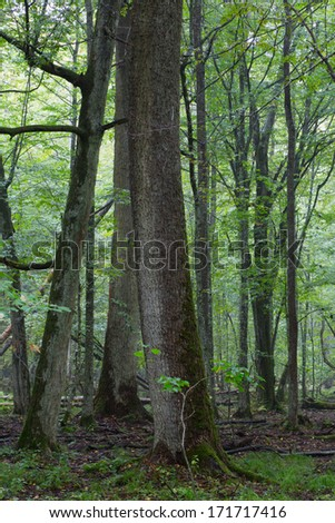 Summertime misty midday in deciduous stand of Bialowieza Forest rain after - stock photo