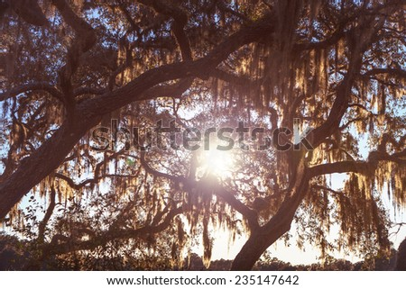 Sun beaming through Floridian live oak trees with spanish moss - stock photo