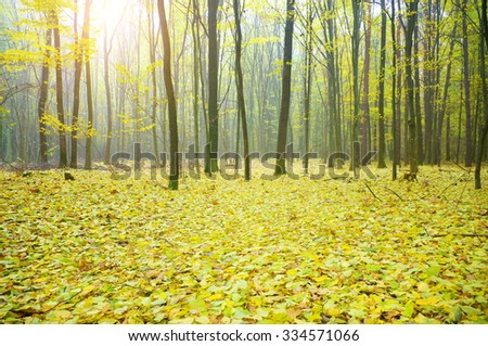 Sun beams making the way through the turned yellow crones of trees in autumn wood - stock photo
