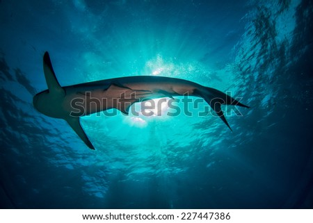 Sun burst with a reef shark in the sea of Abaco in the Bahamas - stock photo