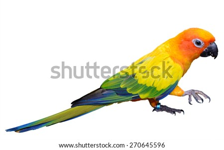 Sun Conure parrot macaw isolated on white background, focus on green feathers - stock photo