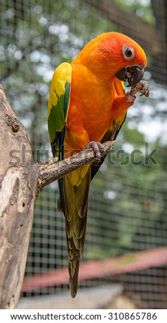 Sun Conure Parrot perching on a branch - stock photo
