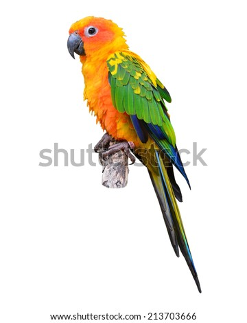 Sun Conure Parrot standing on the stump isolated on black background