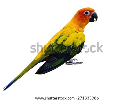 Sun Conure, the beautiful yellow parrot bird standing on the floor isolated on white background - stock photo