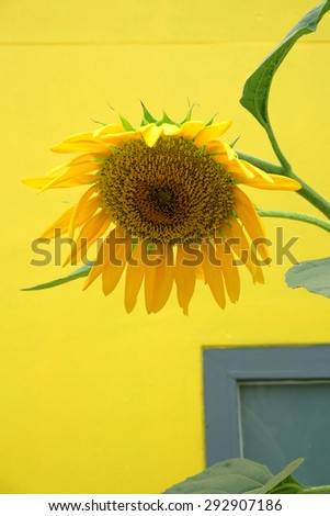 Sun flower and yellow background
