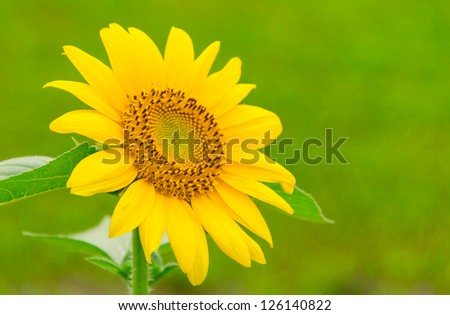 sun flower, beautiful yellow flowers - stock photo