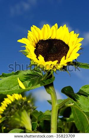 Sun flower in garden - stock photo