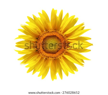 sun flower isolated white background.