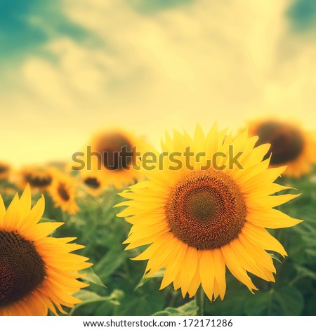 sun flowers in field, image with retro colors - stock photo