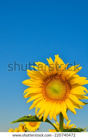 sun flowers in the garden
