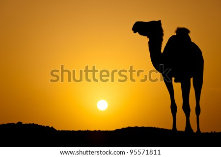 Sun going down in a hot desert: silhouette of a wild camel at sunset (color toned image)