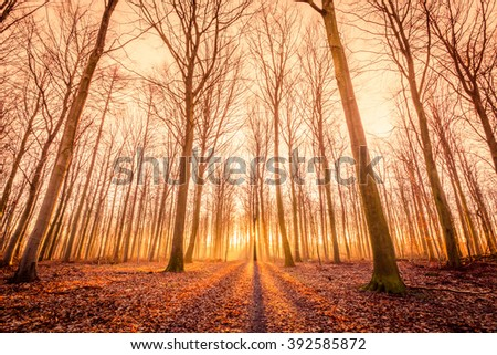 Sun is rising in a forest with tall trees - stock photo