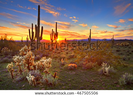 Sun is setting between Saguaros, in Sonoran Desert, near Phoenix.