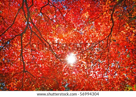 sun light through the red fall maple foliage - stock photo
