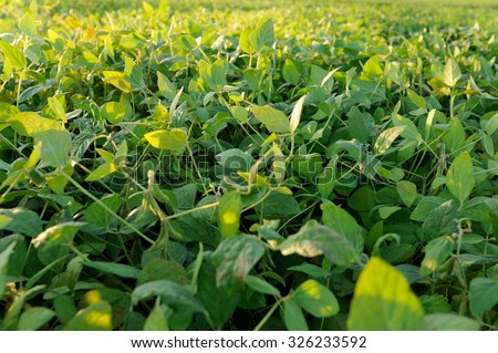 Sun lit fresh green soy pods and leaves - stock photo