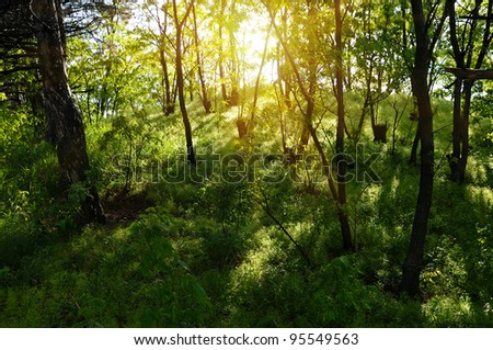 sun rays in the old forest - stock photo