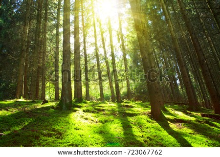 Sun's rays make their way through the trunks of trees in a pine forest