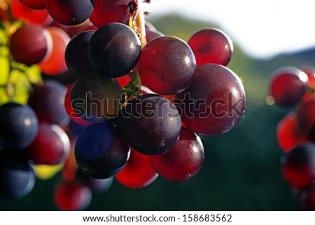 Sun setting on red closeup grapes. - stock photo