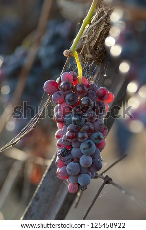 Sun Setting on Red Grapes - stock photo