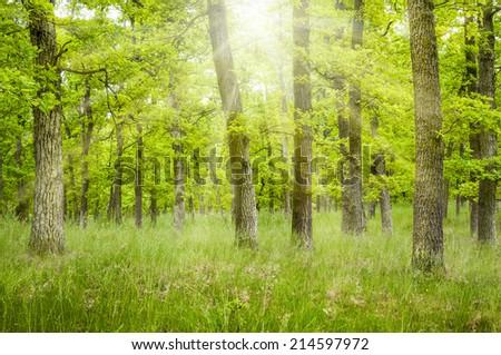 Sun shine through oak trees - stock photo