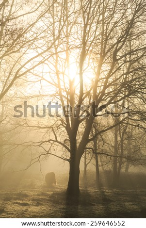 Sun shining through a tree, with highland cattle in the background during a foggy sunrise.