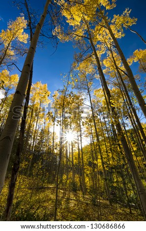 Sun shining through an autumnal golden aspen stand in the Santa Fe Ski Basin, New Mexico - stock photo