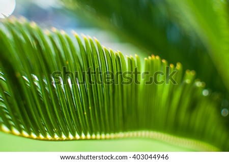Sun  shining through Green Palm Leave. Shallow depth of field.