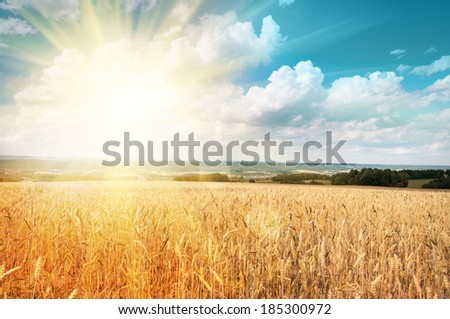 Sun shining through ripe wheat