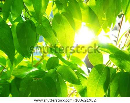Sun through the green leaves of Clematis. - stock photo